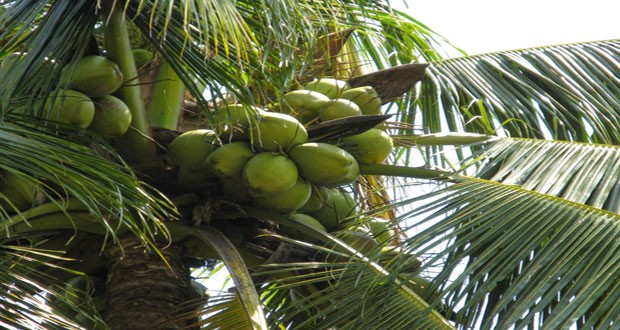Coconut tree 620x330 1