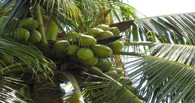 Coconut-tree-620x330