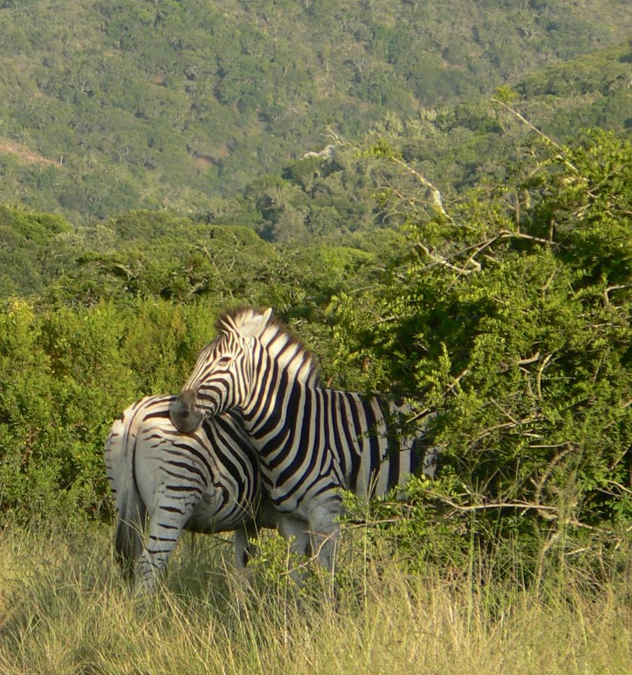 Lalibela Game Reserve Zebra